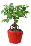 Ficus in a red-brown pot isolated Royalty Free Stock Photos