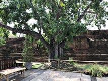 Ficus religiosa, Święta figa, Bodhi drzewo, Pippala drzewo, Peepul drzewo, Peepal drzewo lub Ashwattha drzewo Obrazy Royalty Free