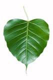 Ficus religiosa Stockfoto