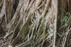 Ficus religiosa (BO-Baum) Stockfotos