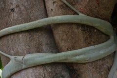 Ficus religiosa (BO-Baum) Wurzel Lizenzfreie Stockfotos