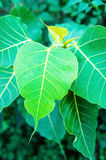 Ficus religiosa Royalty Free Stock Images
