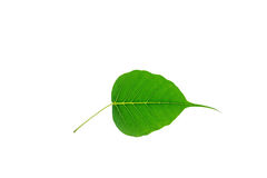 (Ficus religiosa L.),leaf form and texture Royalty Free Stock Image