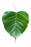 Ficus religiosa Stock Photo
