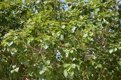 Ficus religiosa leaves Stock Image
