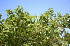 Ficus religiosa leaves Stock Photo