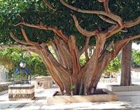 Ficus religious, Sacred fig (Ficus sacred), Ficus religiosa L Royalty Free Stock Photos