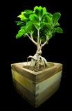 Ficus retusa. Isolated on black Stock Photos