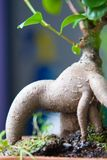 Ficus retusa bonsai Stock Image
