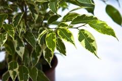 ficus roślina zdjęcia stock