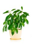 Ficus. Room flower in a flowerpot Stock Photography
