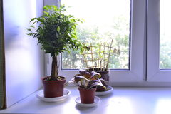 Ficus room Royalty Free Stock Images