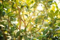 Ficus rozgałęzia się z słońce promieniami zdjęcie stock