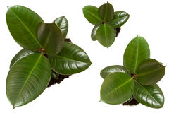 Ficus, ruuber plants Royalty Free Stock Photos