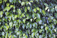 Ficus Shrub Background Stock Photo