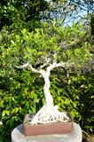 Ficus Sp Stock Photography