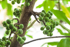 Ficus spp.or  Ficus racemosa L. Royalty Free Stock Image