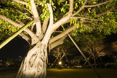 Ficus superba tree Royalty Free Stock Image