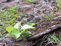 Ficus thonningii del becco Fotografia Stock Libera da Diritti
