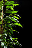 Ficus tree. With many green leaves on black background stock photo