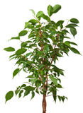 Ficus tree Royalty Free Stock Images
