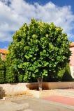 Ficus tree. Royalty Free Stock Photos