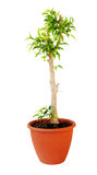 Ficus tree Royalty Free Stock Photos