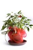 Ficus tree. Benjamin in a pot stock photo