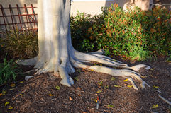 Ficus tree base showing root system in Laguna Woods, California. Royalty Free Stock Photos