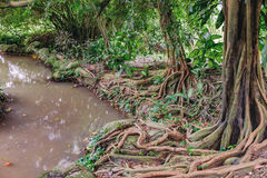 Ficus tree with big roots and small tropical river Stock Photo
