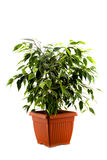 Ficus tree in a brown pot isolated on white Stock Photo