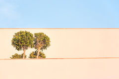 Ficus tree building. With wide horizontal white walls in sunset light Royalty Free Stock Photos