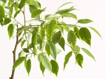 Ficus tree, close-to royalty free stock photography