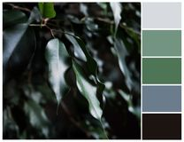 Ficus tree color palette. Color swatch. Green, grey and black colours. Harmonious color combinations royalty free stock photo