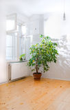 Ficus tree in empty room. Room with ficus tree near open window royalty free stock photo