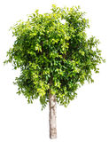 Ficus tree. Stock Images