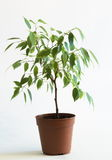 Ficus tree in flowerpot 2. Small ficus tree in flowerpot on light gray background Stock Photo