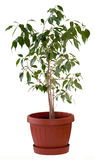 Ficus tree in flowerpot. Ficus Benjamin in a brown flowerpot. Isolated Royalty Free Stock Image