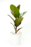 Ficus tree in flowerpot Royalty Free Stock Photography