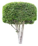 Ficus tree isolated on white. Shaped trimmed ficus tree for garden landscape design isolated on white background stock photos