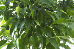Ficus tree leaves background. Natural green background royalty free stock images