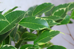 Ficus tree leaves Royalty Free Stock Image