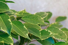 Ficus tree leaves Royalty Free Stock Photography