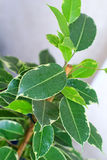 Ficus tree leaves Royalty Free Stock Images