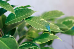 Ficus tree leaves Royalty Free Stock Photos