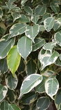 Ficus Tree Leaves. Ficus or weeping fig leaves. A good background for your next design Stock Photo