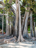 Ficus tree in Palermo city in Giardino Garibaldi Stock Photo