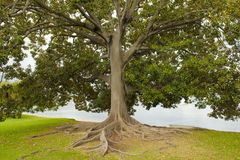 Ficus Tree, Perth, Australia royalty free stock images