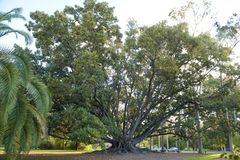 Ficus Tree, Perth, Australia royalty free stock photos
