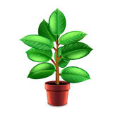 Ficus tree in pot  on white vector Royalty Free Stock Images